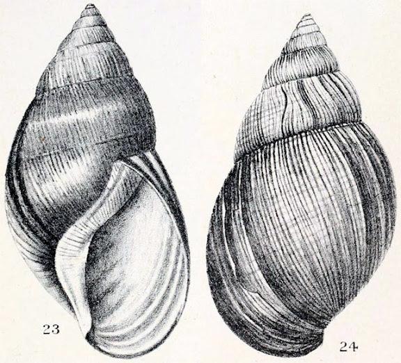 Achatina glutinosa Plate9