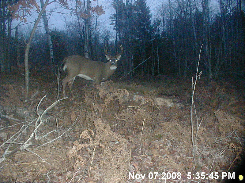 Do big bucks go to bait piles? - Michigan Whitetail Deer Hunting