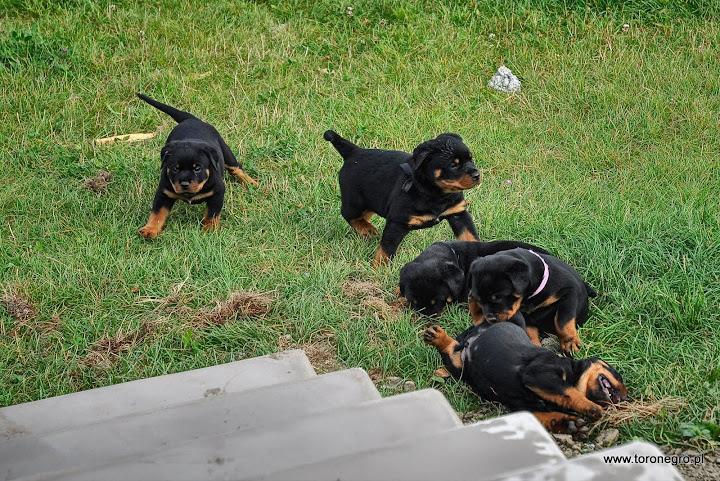 Zbawa szczeniąt rotteweiler małych