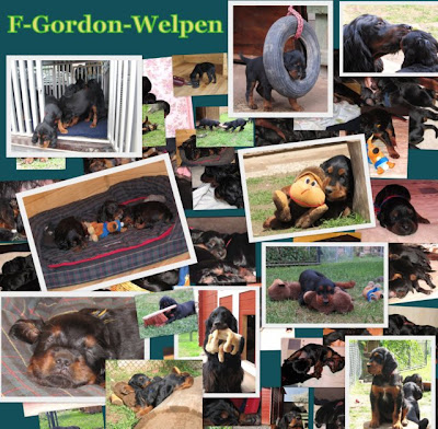 https://sites.google.com/site/kemtinsblackgordonsetter/home/wuerfe/f-gordon-setter-welpen
