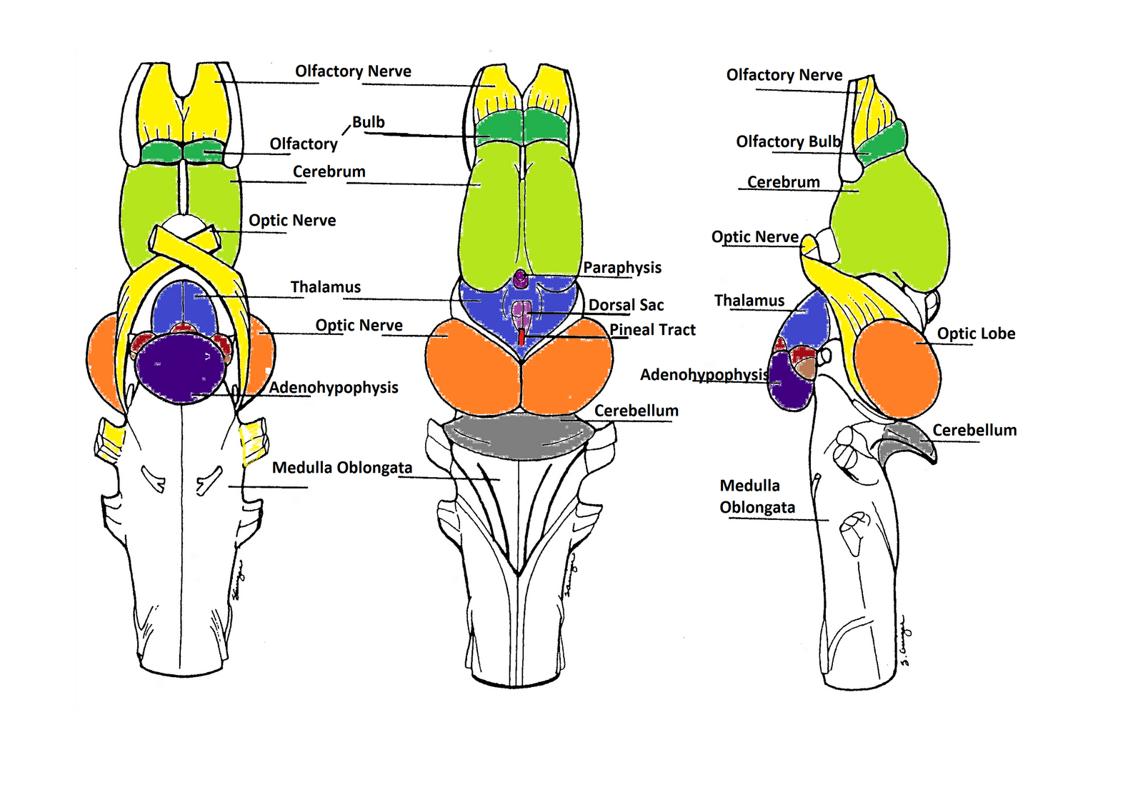 the most anterior portion of the leopard frog brain is are the The section of the brain that consists of the most anterior (in man, the topmost) part of the brain stem, over which the cerebral hemispheres are located inferiorly and posteriorly, the diencephalon borders on the mesencephalon (midbrain.