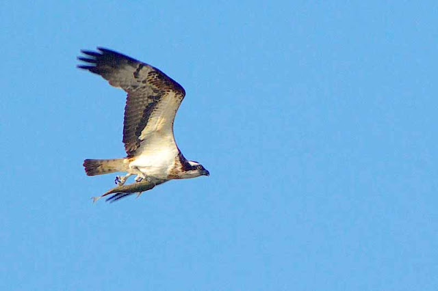 osprey flys with fish