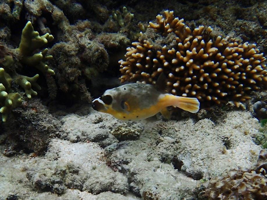 Arothron nigropunctatus (Dog-face Puffer), Miniloc Island Resort reef, Palawan, Philippines.