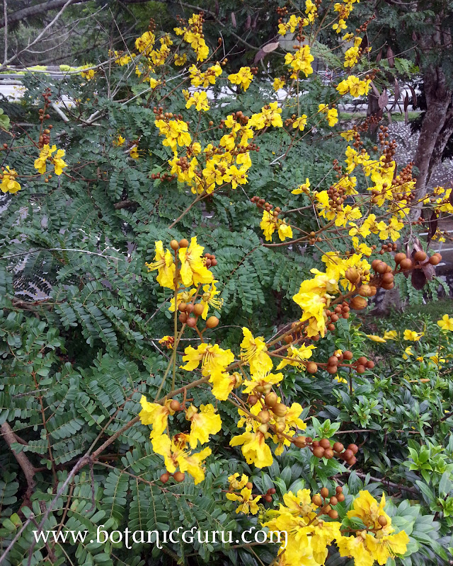 Caesalpinia sappan, East Indian Redwood, Sappan Wood