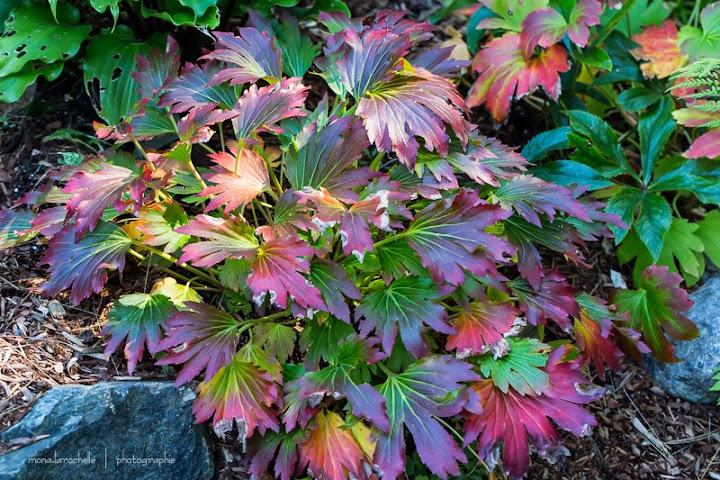 Mukdenia rossii Crimson Fans Mukdenia-crimson-fan-130924-114rm