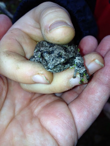 Nature Study: Checking out the Gray Tree Frog we found.