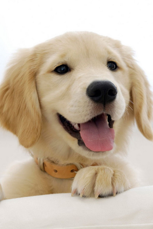 Cute Golden Retriever Puppy HD Picture Wallpaper For iPhone4