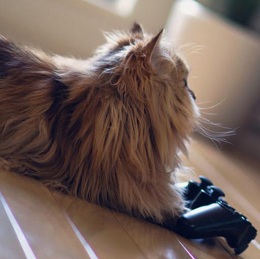 Перхоть у кошки причины лечение и профилактика  Муркотэ
