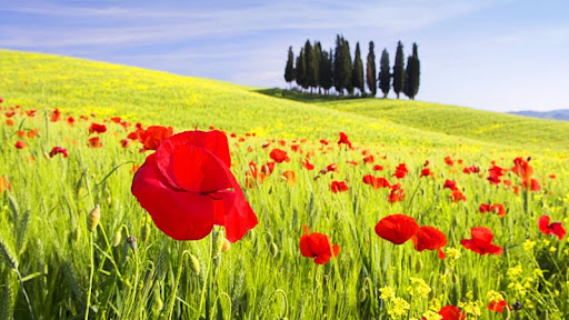 Red Poppies, Tuscany, Italy.jpg