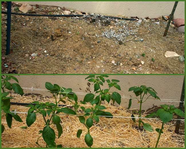 tomatillos before and after