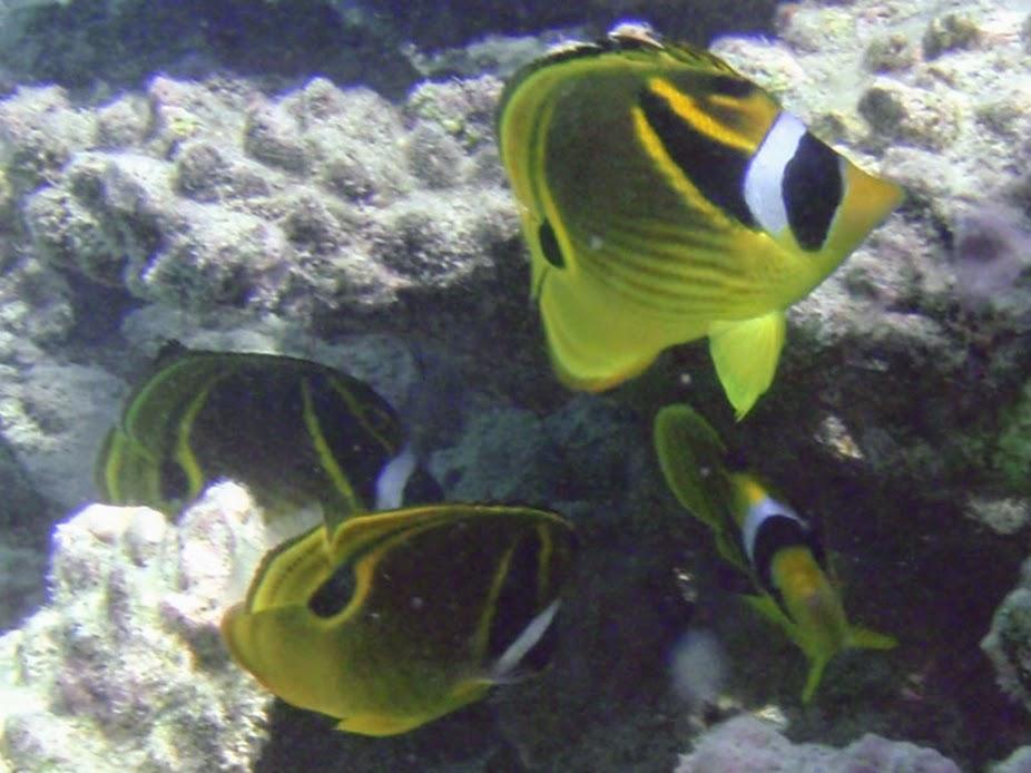 Chaetodon lunula (Raccoon Butterflyfish), Aitutaki.