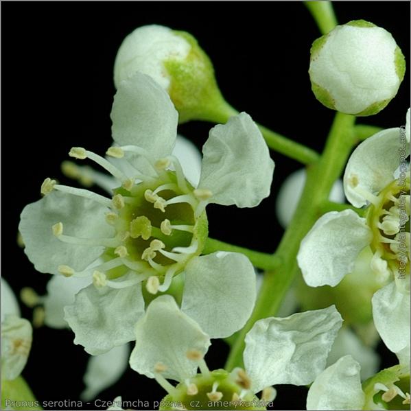 Prunus serotina flower and bud flower - czeremcha późna, cz. amerykańska kwiat i pąk kwiatowy