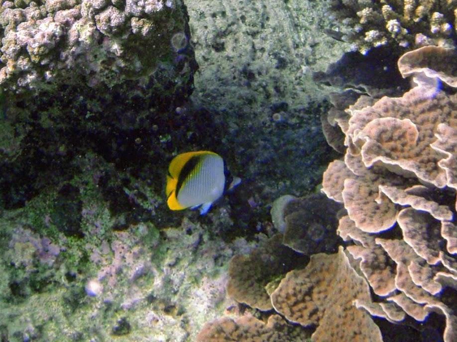 Chaetodon lineolatus (Lined Butterflyfish), Naigani Island, Fiji.