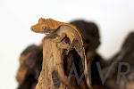 Juvenile Tricolor Crested Gecko from moonvalleyreptiles.com