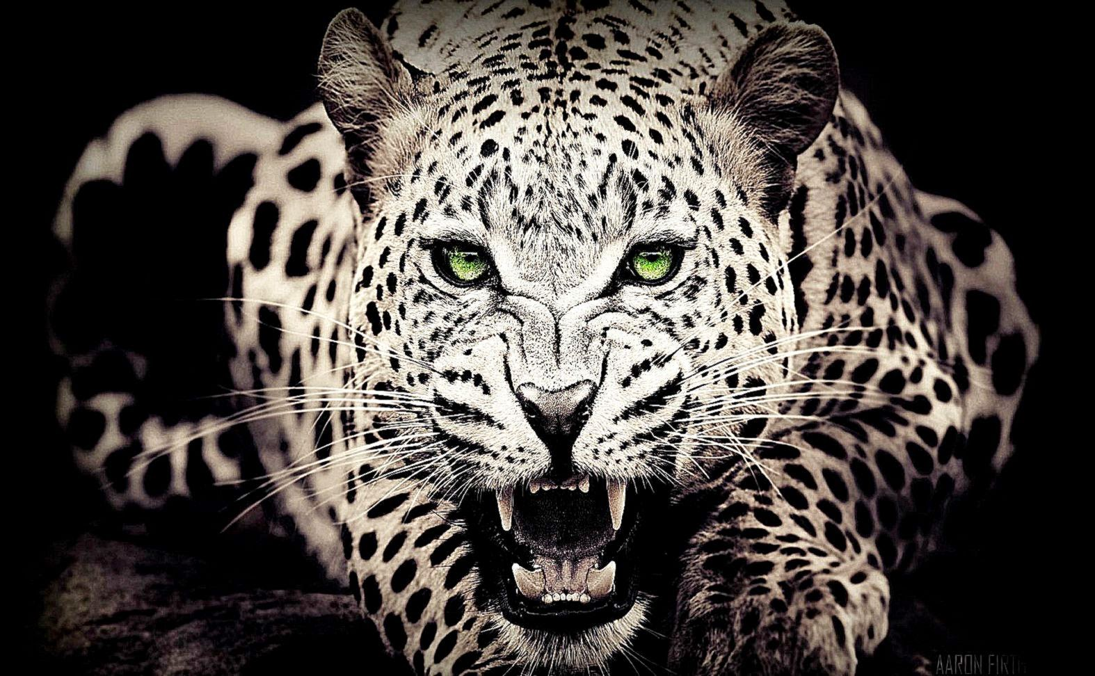 leopard wallpaper  Dr Wallpapers
