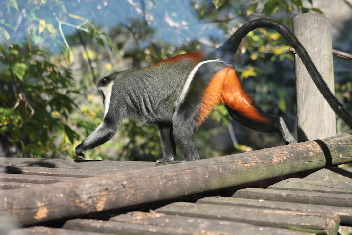 Koczkodan Diana - Stare Zoo Poznań