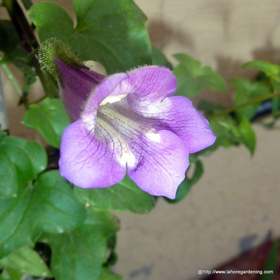 2013 Achievements Some Perennials Pakistan Gardening Forum