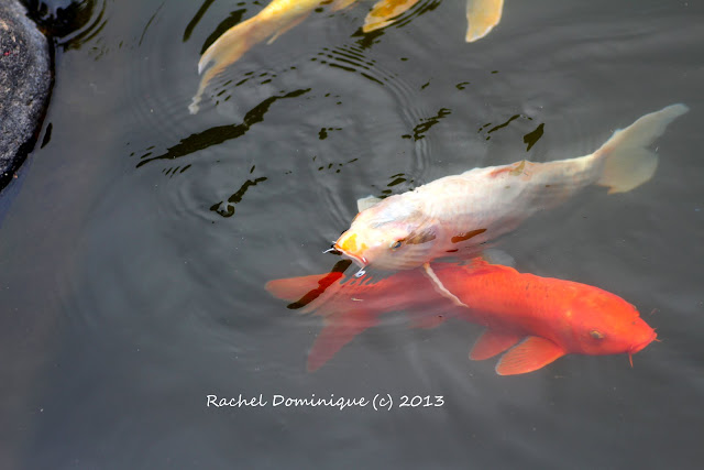 Another shot of the koi