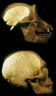 ukuran otak simpanse vs ukuran otak manusia