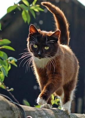 ผลการค้นหารูปภาพสำหรับ brown cat