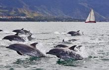 dolphins swimming off Ilhabela Island, Brazil