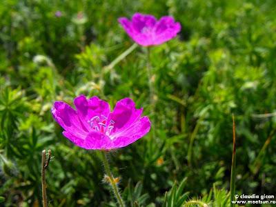 flori roz de mai in Macin: Geranium sanguineum