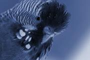 птицы, волнистый попугай, parrot,