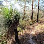 Old grasstree (203161)