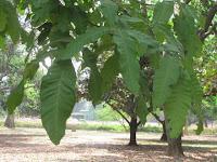 https://lh6.googleusercontent.com/-trSkviEJVZ0/T2_vk__nFDI/AAAAAAAAAAY/m4B8ICiVwUw/s1600/Kusum+Tree+-+Leaf.jpg