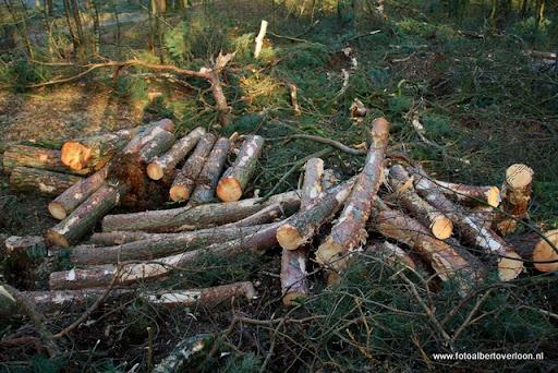 Houtoogst in de bossen van overloon 17-01-2012 (11).JPG