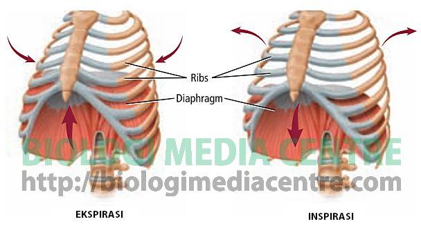 Sistem Respirasi 3 Respirasi Pada Manusia
