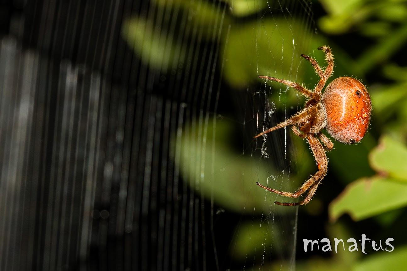 manatus foto blog araña y tela