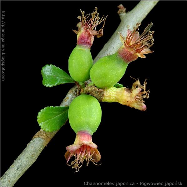 Chaenomeles japonica young fruit - Pigwowiec japoński młode owoce