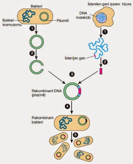 gen klonlama işleminin basamakları