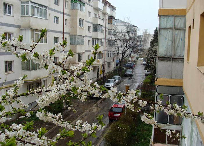 Primăvara bate în fereastră cu degete de flori de prun (3) | Şi zăpada mieilor din 5 aprilie…
