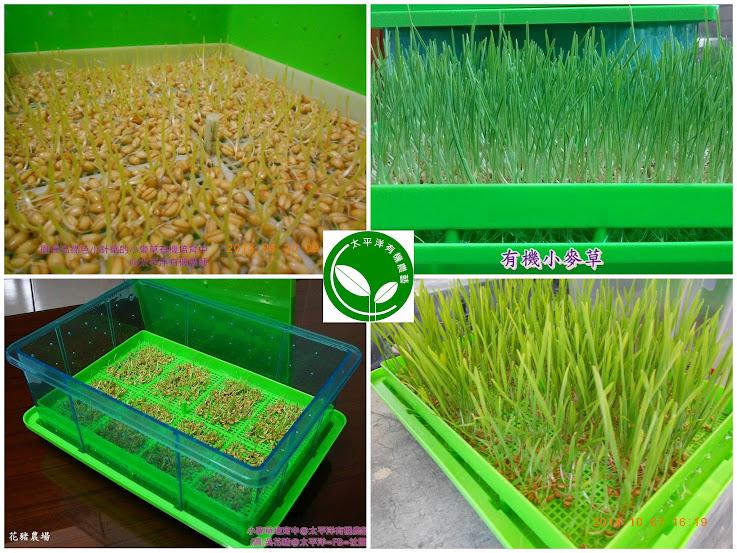 小麥,小麥胚芽,回春水,貓草,種貓草,如何種貓草,小麥草水耕法,自己種貓草,貓草怎麼種,水耕貓草