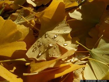 Miłorząb dwuklapowy liście