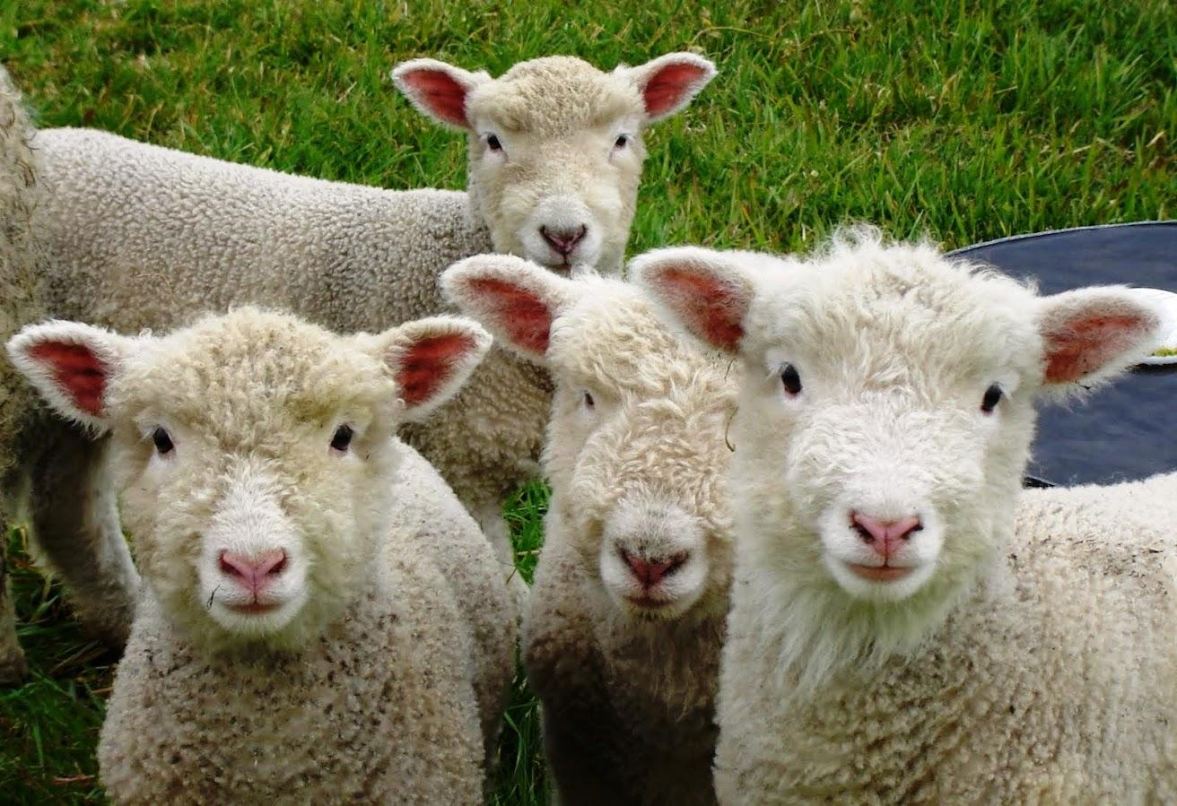 acertijo de las ovejas