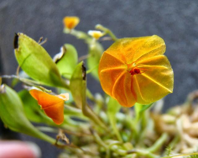 Lepanthes telipogoniflora DSC09796
