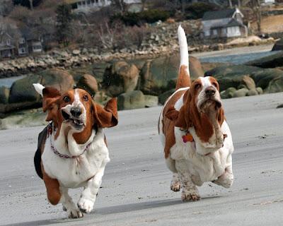 bassets running