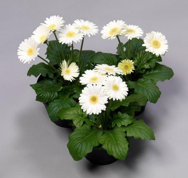 Комнатный цветок гербера: фото, выращивание и уход