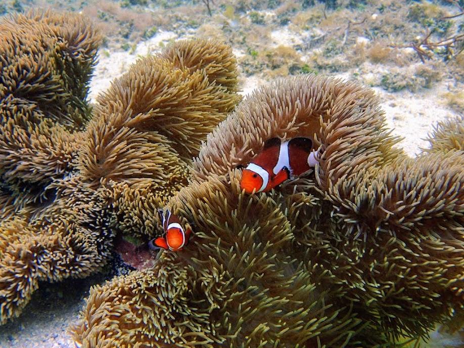 Amphiprion ocellaris (Ocellaris Clownfish) with Stichodactyla gigantea (Giant Carpet Anemone), Miniloc Island Resort reef, Palawan, Philippines.