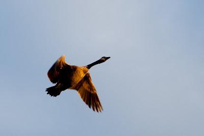 Morning goose