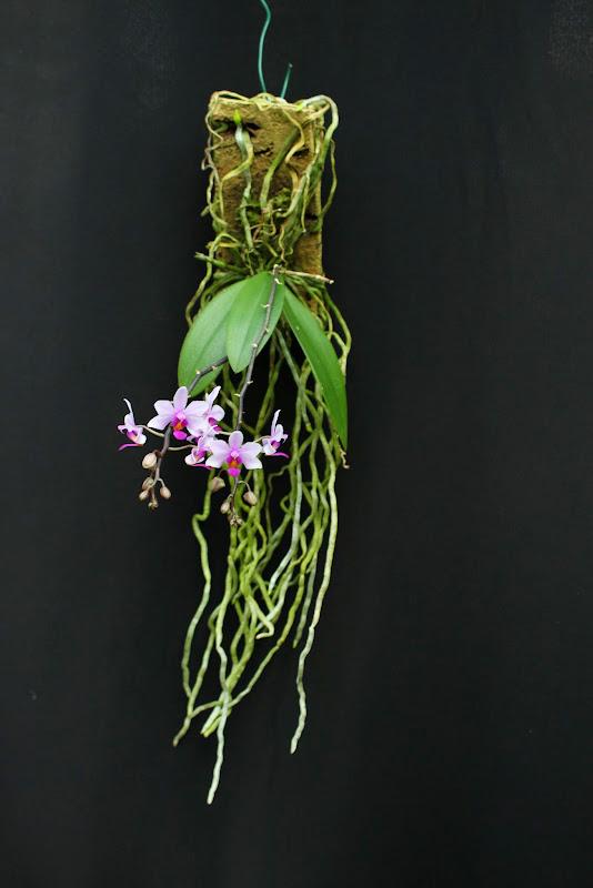 Phalaenopsis Simon Schunter IMG_0898