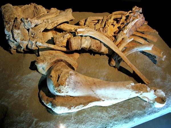 Los restos del elefante de Áridos 2, expuestos en el Museo Arqueológico Regional. Alcalá de Henares. Fuente: Wikimedia Commons.
