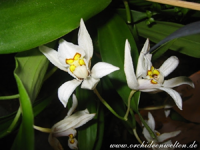Растения из Тюмени. Краткий обзор - Страница 3 Coelogyne%25252520corymbosa2
