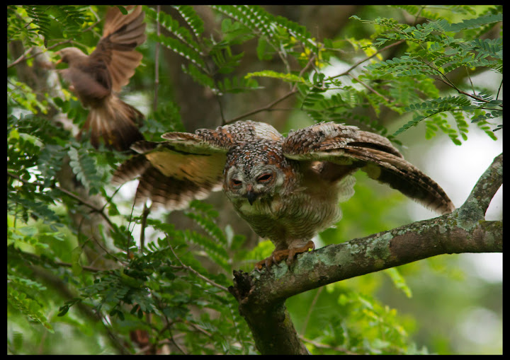 Mottled Wood Owl being attacked by Babblers