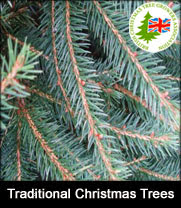 Traditional Norway spruce Christmas trees