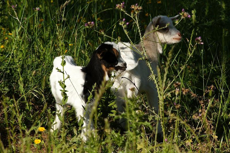 Cabras em Setúbal