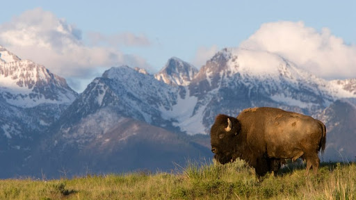 American Bison, Moise, Montana.jpg